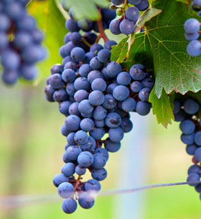TEMPRANILLO FOR RED WINES