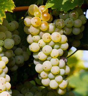 VIURA GRAPES FOR WHITE WINES