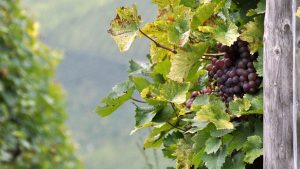 tipologia y aromas del vino de rioja alavesa