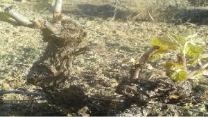 renacer viñedos Rioja Alavesa