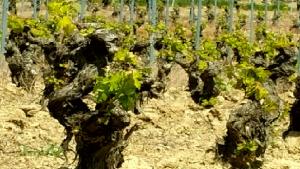 Renacer de los viñedos en la Rioja Alavesa